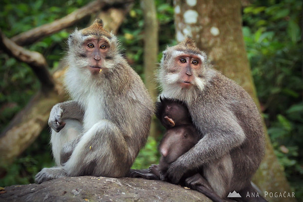 Macaques at the Monkey Forest in Ubud