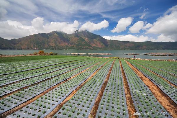 Fields near the Gunung Batur volcano