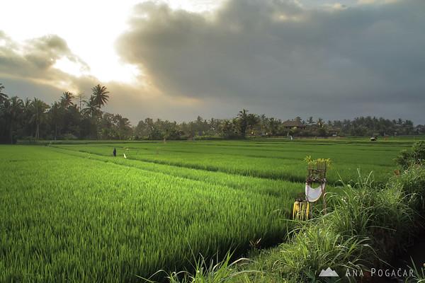 Rice paddies around Ubud