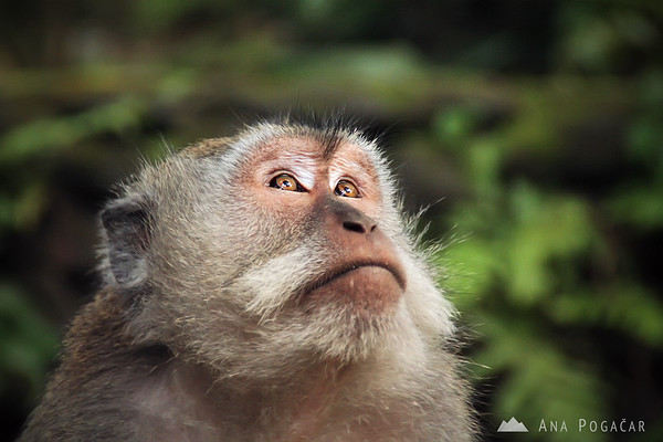 A macaque at the Monkey Forest in Ubud