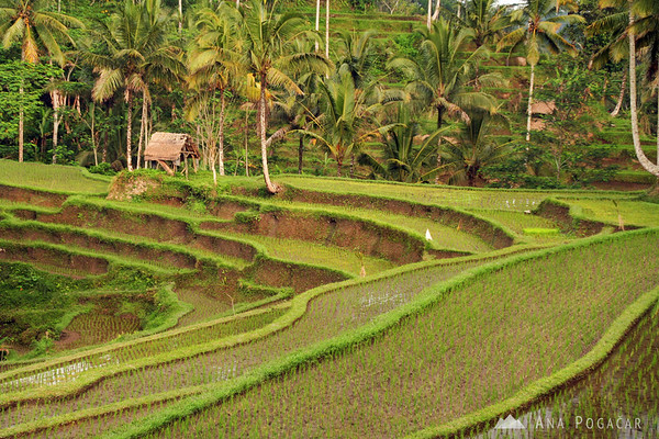 Rice terraces near Ubud