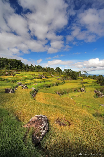 Rice terraces around Rantepao
