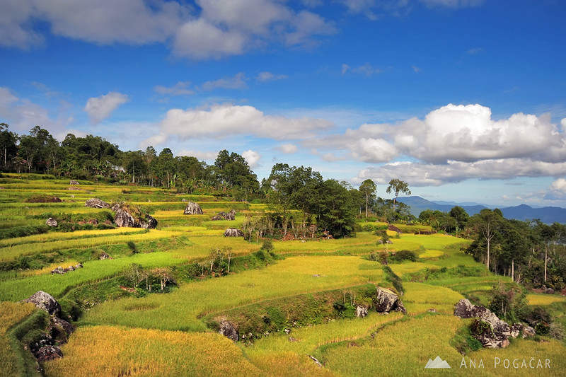 Rice terraces around Rantepao