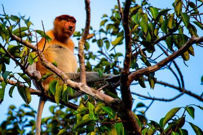 Proboscis monkey, Tanjung Puting, Borneo