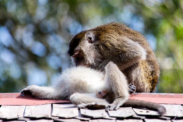 Macaque monkey, Tanjung Puting, Borneo