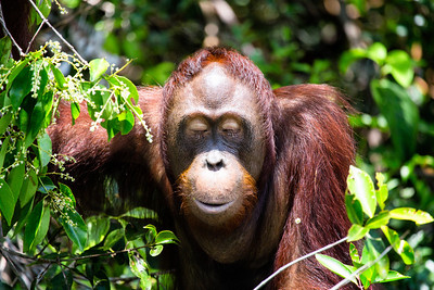Orang-Utan, Tanjung Puting, Borneo