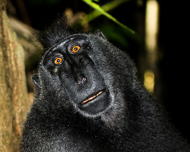 Indonesia, travel, nature, primates, black macaque, Macaca nigra