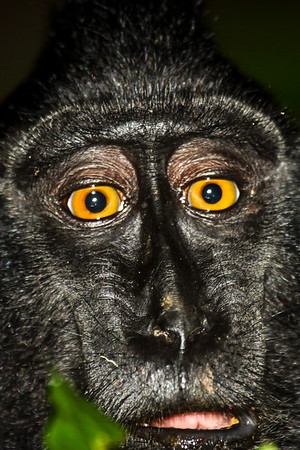 Indonesia, travel, nature, primates, black macaque, Macaca nigra