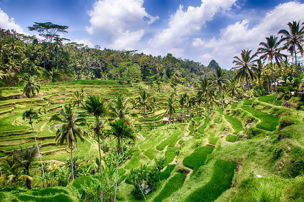 Rice terraces, Tegallalang