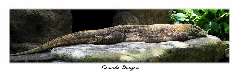 The Komodo Dragon, as much as I wish I could have seen one in the wild this one was taken at the Bali Zoo, it was pretty awesome to see, this lizard was huge, but apparently they can get almost twice as big in the wild, this one was about 1.5 meters long and they can get up to 2-3 meters long.