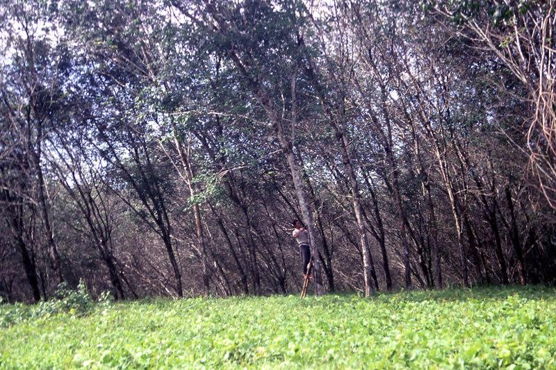 Rubber plantation, Sumatra.