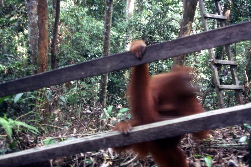 Orangutan, Sumatra.