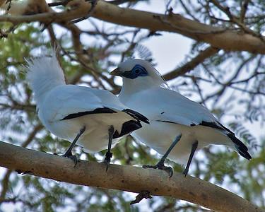 Bali Starling (Leucopsar rothschildi)