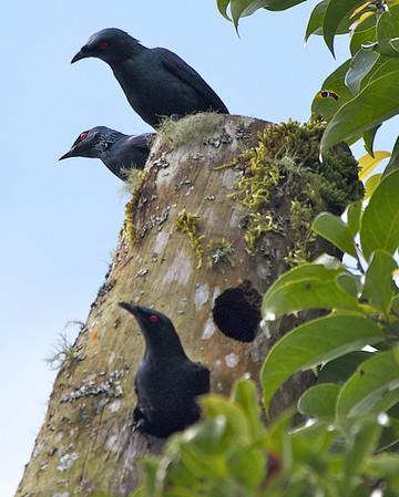 STURNIDAE Starlings and Mynas