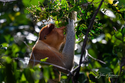 Proboscis Monkey, Tanjung Puting