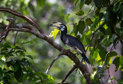 Oriental Pied Hornbill, Tanjung Puting