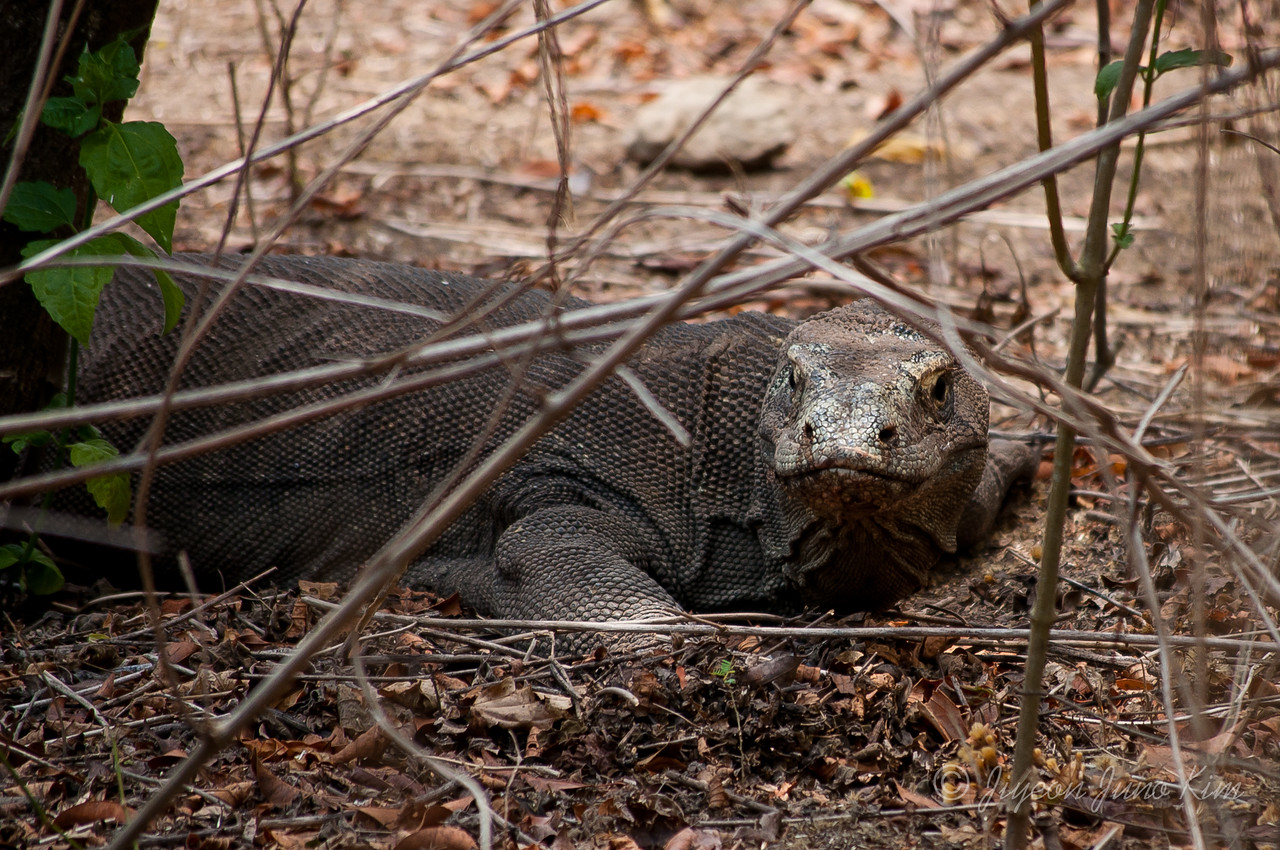 A female Komodo dragon guarding the nest