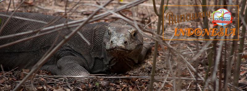 A female Komodo dragon guarding her nest