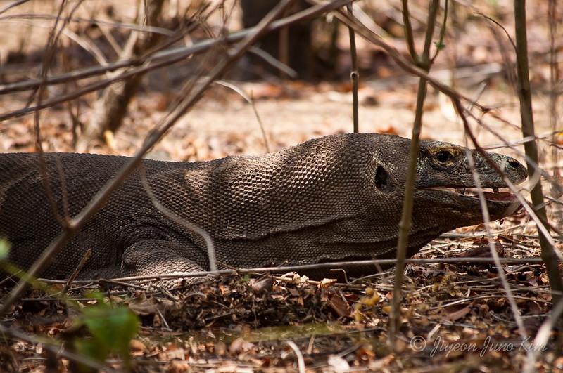 Komodo dragon's year