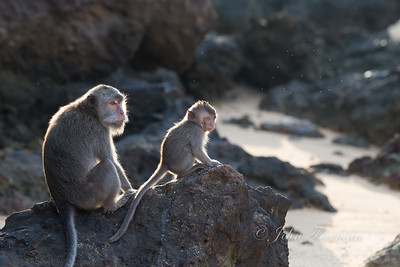 Long-tailed Macaques, Kuta Bay
