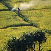 A rice farmer tending his crop.