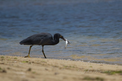 Pacific Reef Egret, Lombok