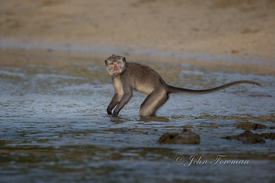 Long-tailed Macaque, Kuta Bay