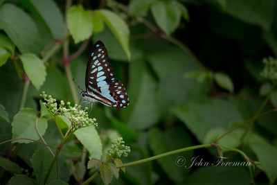 Blue Jay, Jakarta
