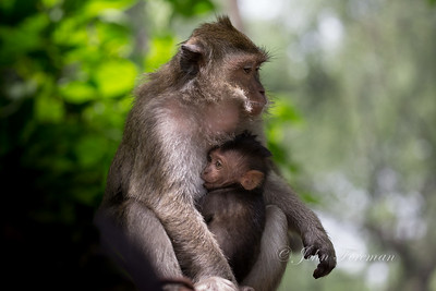 Long Tailed Macaques, Jakarta