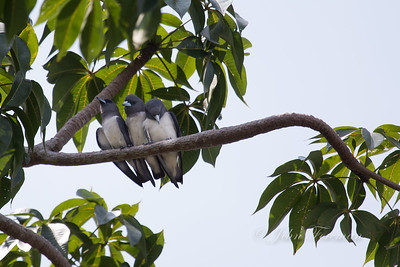 Wood Swallows, Pulau Onrust