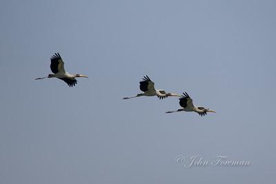 Milky Storks