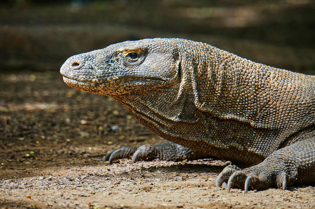 Komodo Island Dragon Close-up