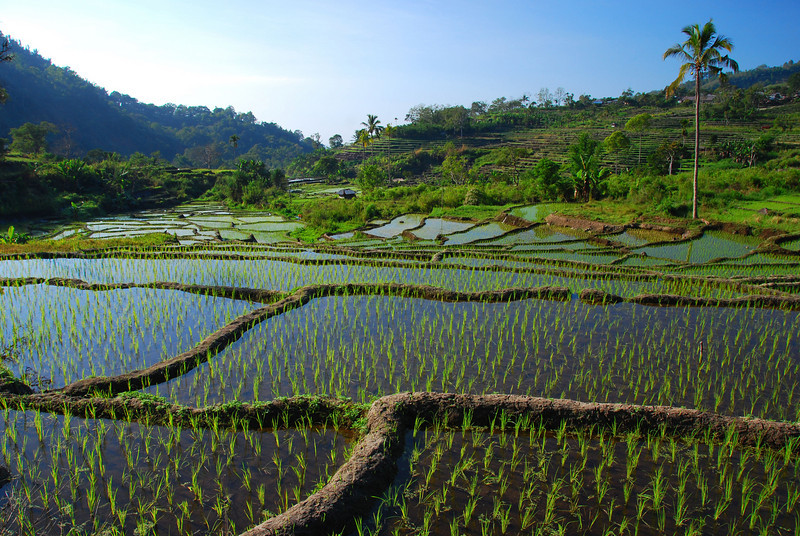 Rice Fields,  Kelimutu road,  nr Moni,  Flores