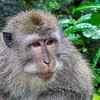 Bali Monkey Forest Sanctuary - Adult Monkey