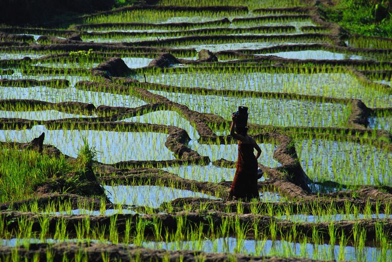 Rice Fields,  Kelimutu road,  nr Moni,  Flores