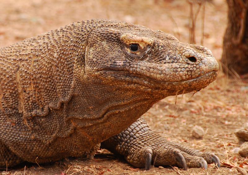 Komodo Dragon,  Rinca Island off Flores