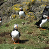 Puffins on Lunga