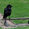 A raven at the Tower of London.  The kingdom and the Tower will fall if the six ravens leave the fortress -- Charles II.