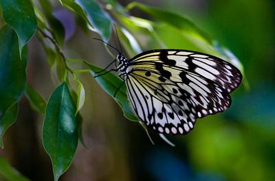 papillon_7493
