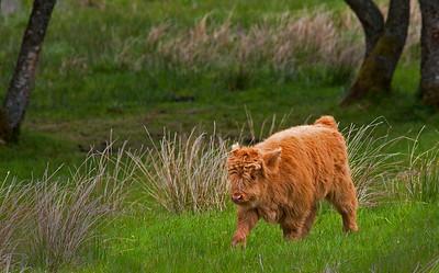 Highland Calf_7443
