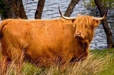 Highland Cow_7439