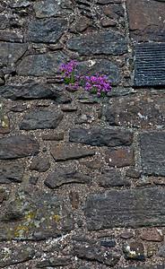 Purple on the Castle Wall_7373