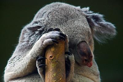 Koala Napping_6940