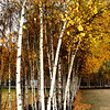 Birch trees at Tate Modern...looking like art in nature.