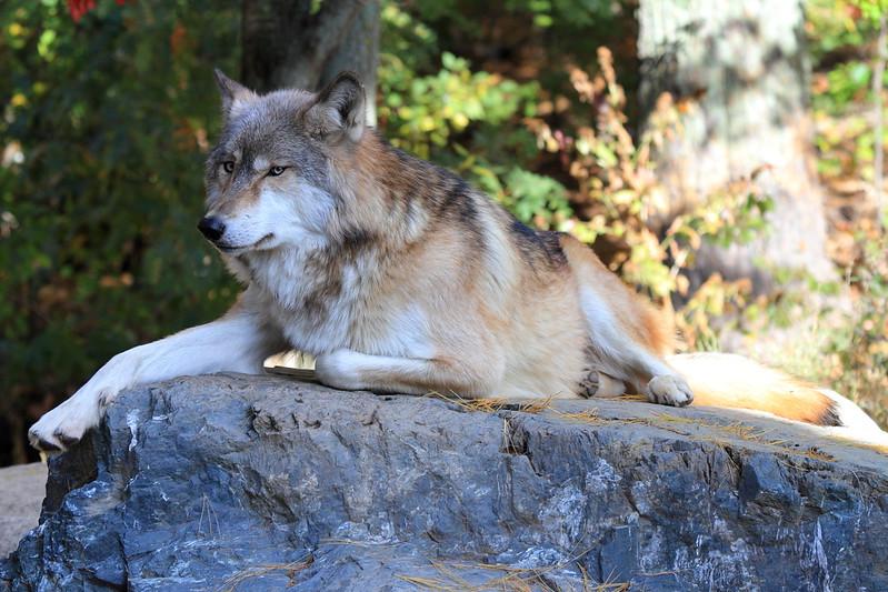International Wolf Center, Ely, MN