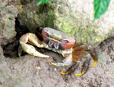 HUAHINE, POLYNESIA - One of the reasons the islands are so clean is that the crabs act like little garbarge collectors, snatching almost anything dropped on the ground and disposing of it in their roadside holes.