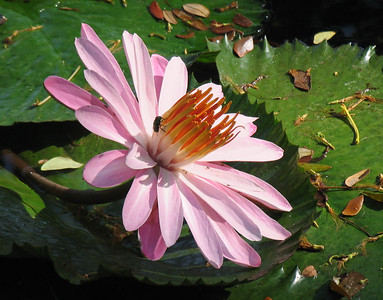 PAPEETE, TAHITI - Tourists are not the only creatures attracted to the colors of Tahiti.  A flowering lilypad in Papeete's central park attracts a bee.