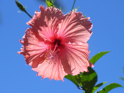 HUAHINE, POLYNESIA - A hibiscus flower catches the early morning sun outside our bungalow.
