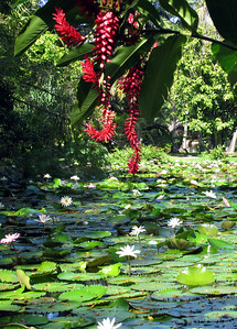PAPEETE, TAHITI - A pond of lilypads in Papeete's central park.