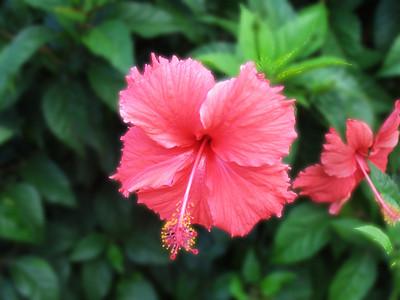 HUAHINE, POLYNESIA - Hibiscus flowers bloom everywhere naturally on the island.